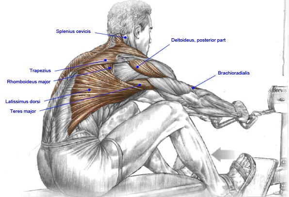 Muscles used in a seated row north adelaide fitness tips for Plank muscles worked diagram